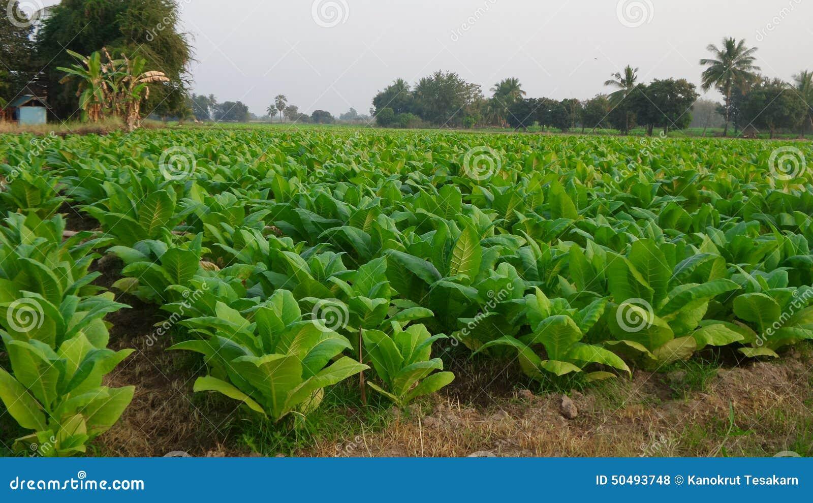 arbre de tabac photo stock. image du arbre, tabac, thailand - 50493748