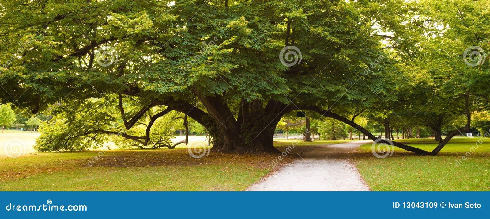 arbre de tilleul centenaire image stock image du arbre outdoors 13043109. Black Bedroom Furniture Sets. Home Design Ideas
