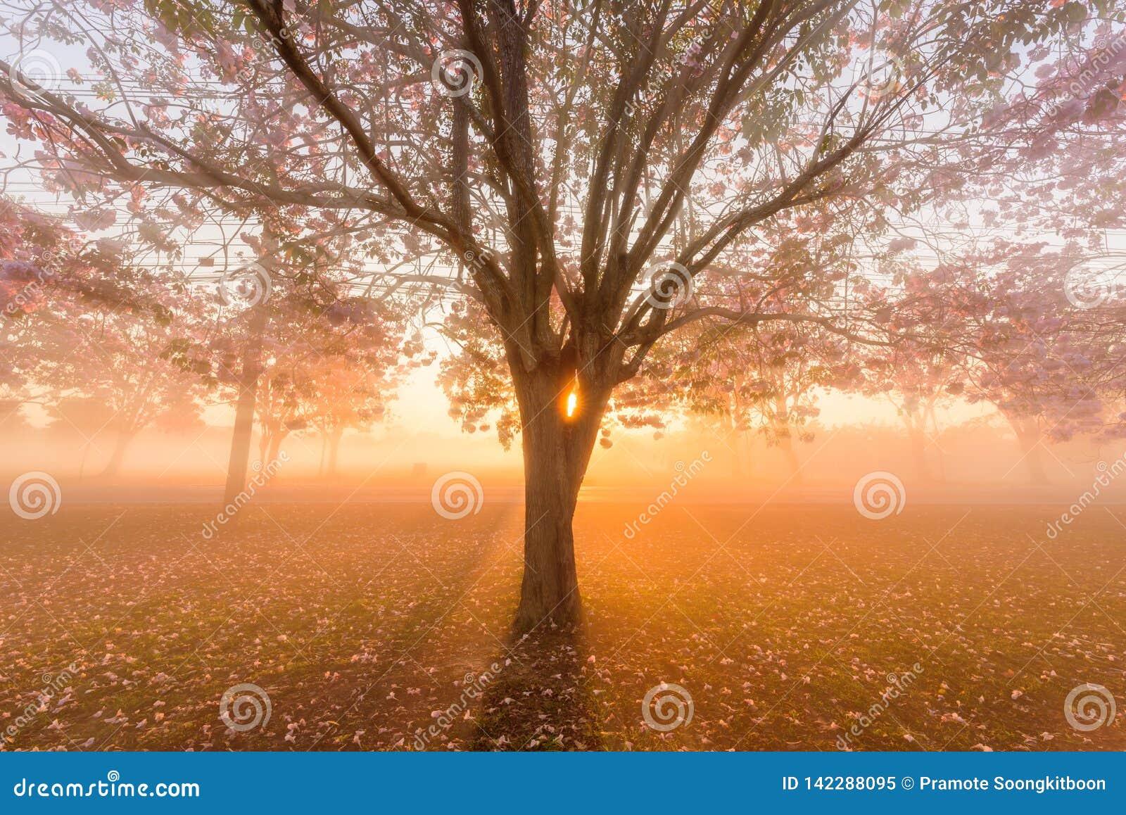 Arbre de trompette rose avec le lever de soleil