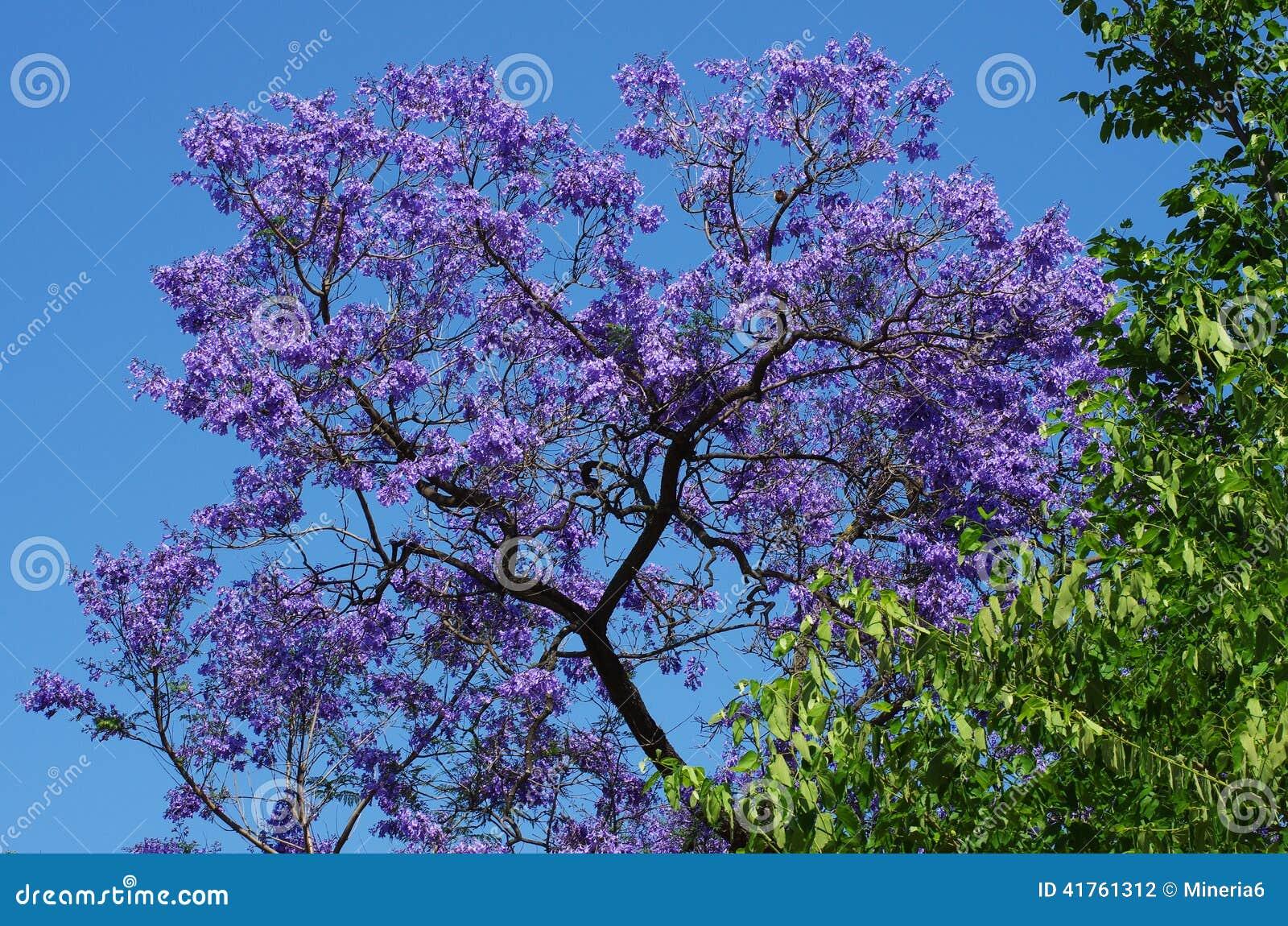 arbre de violet jacaranda photo stock. image du coloré - 41761312