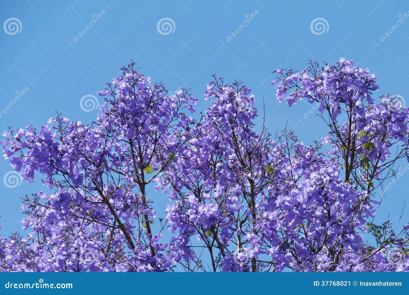 arbre de violet jacaranda vis-à-vis d'un ciel bleu image stock