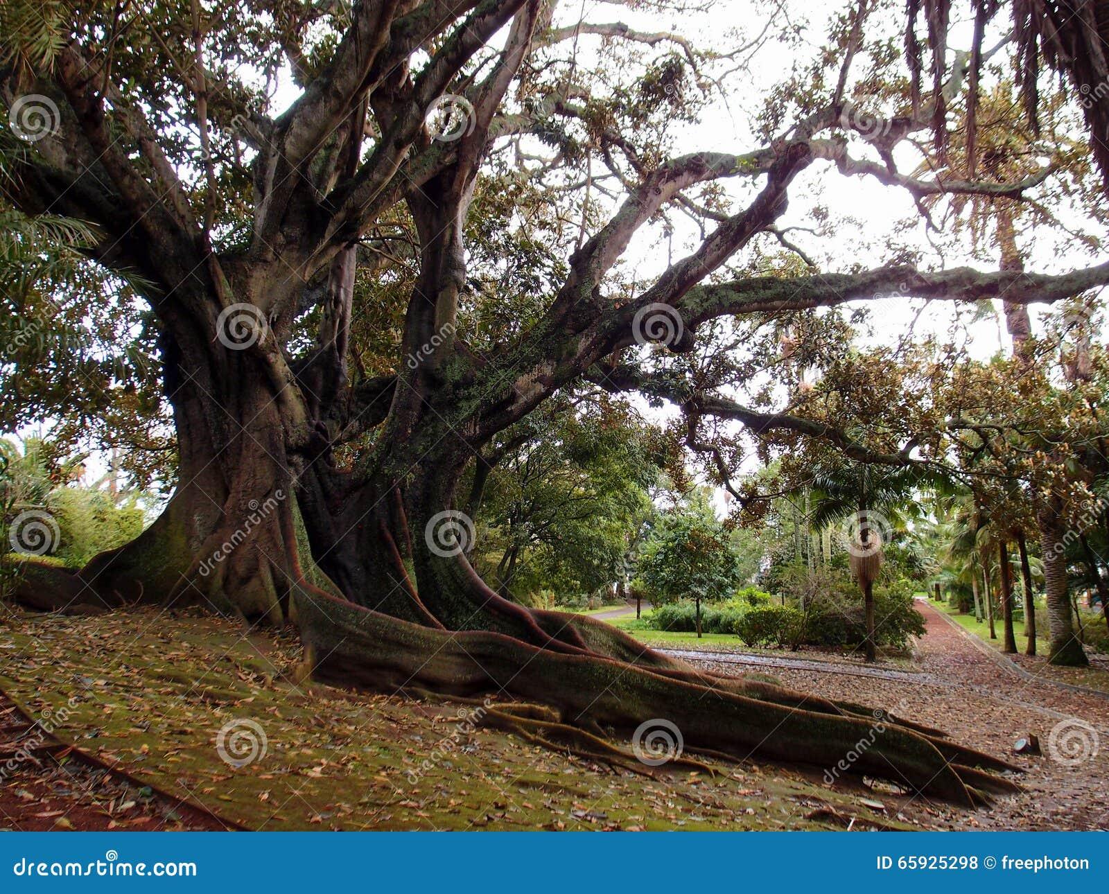 Arbre en caoutchouc (elastica de ficus) - longues racines