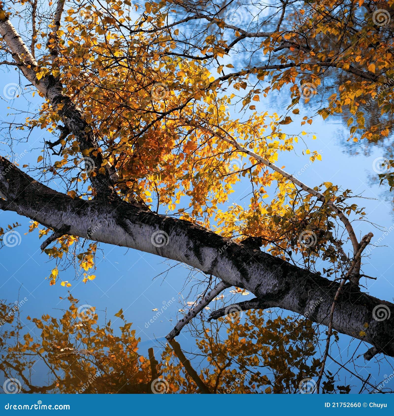 Arbre et branchement de bouleau d automne sur le lac