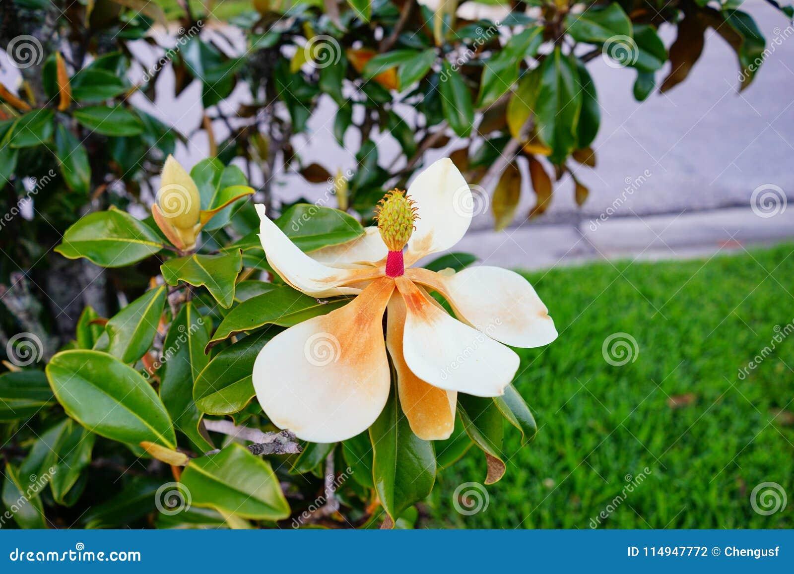 Arbre Et Fleur De Denudata De Magnolia Photo Stock Image Du Baisse