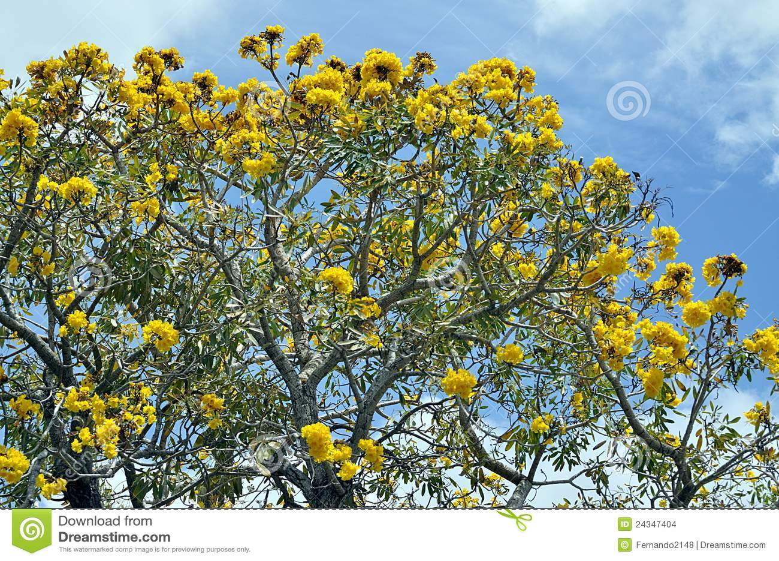 arbre flamboyant images stock image 24347404. Black Bedroom Furniture Sets. Home Design Ideas