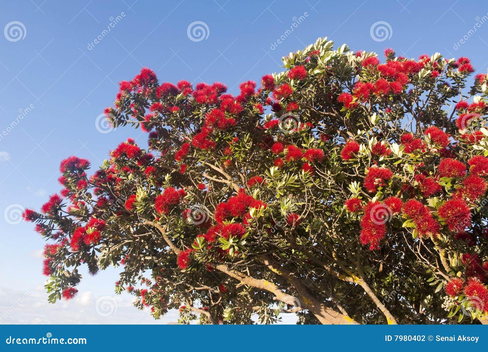 Arbre flamboyant de floraison avec les fleurs rouges photo stock image du nature fleur 7980402 - Arbres a fleurs rouges ...