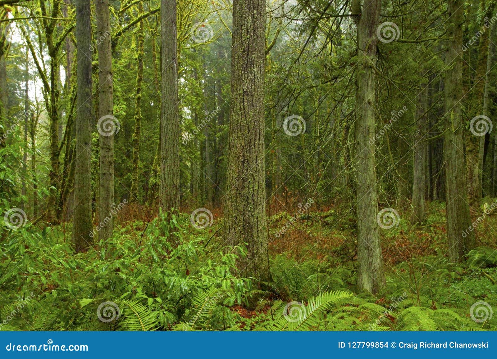 Arbre forêt et de sapin du nord-ouest Pacifiques de Douglas