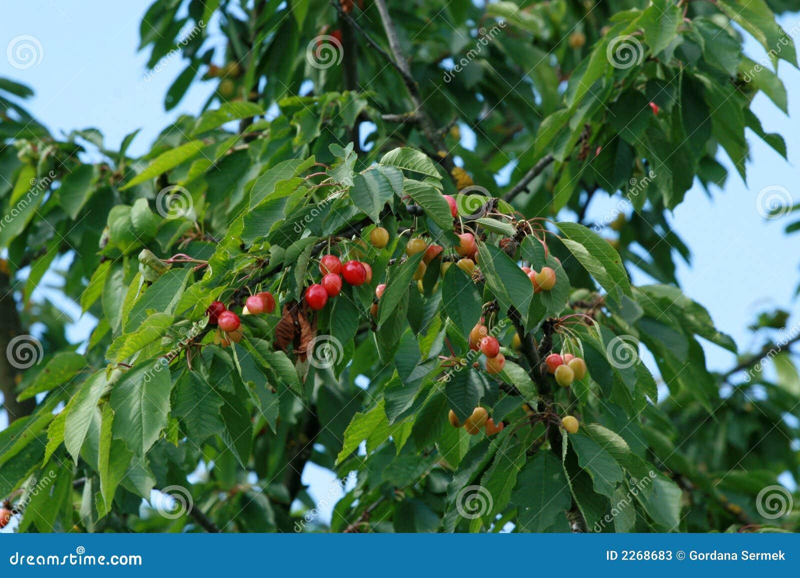 arbre fruitier de cerise image stock image du frais gentil 2268683. Black Bedroom Furniture Sets. Home Design Ideas