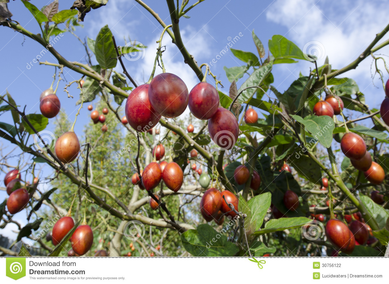 Arbre fruitier de tamarillo photo stock image du for Arbre fruitier