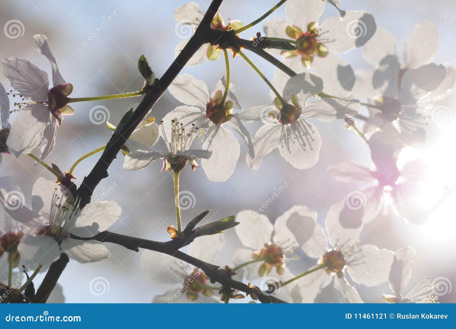 Arbre fruitier en fleur image stock image du cerise for Arbre fruitier