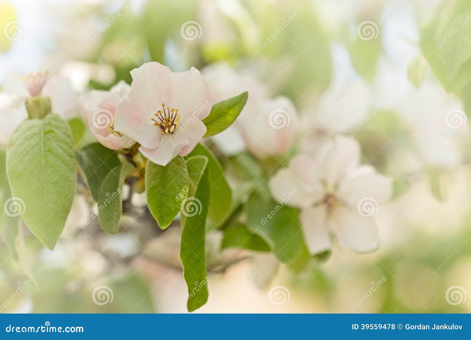 arbre fruitier fleurissant fleur de coing photo stock image du bourgeon personne 39559478. Black Bedroom Furniture Sets. Home Design Ideas