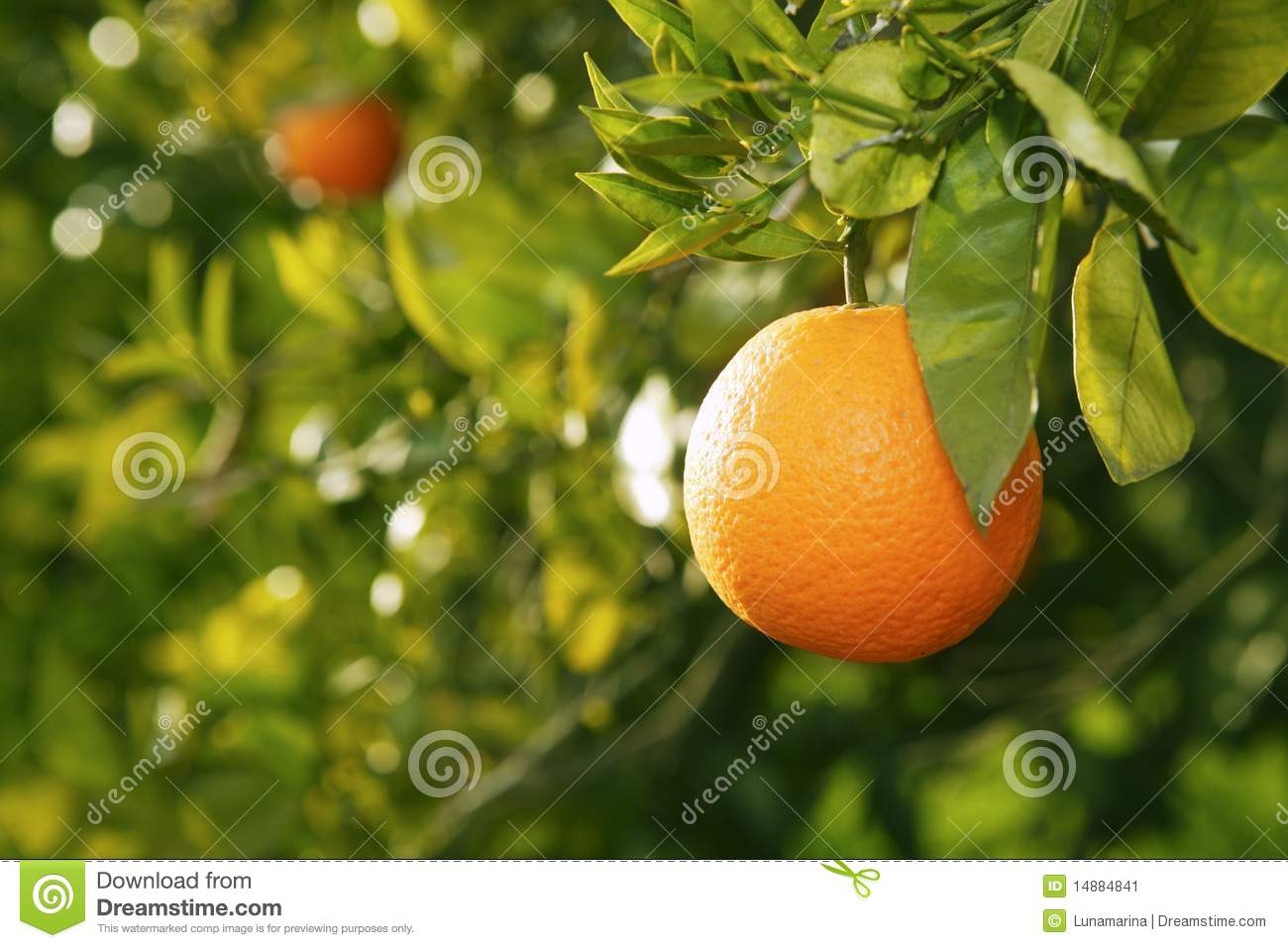 Arbre fruitier orange avant moisson espagne image stock for Arbre fruitier