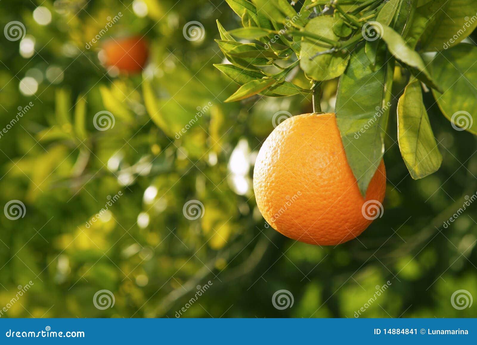 Arbre fruitier orange avant moisson espagne image stock for Arbre fruitier
