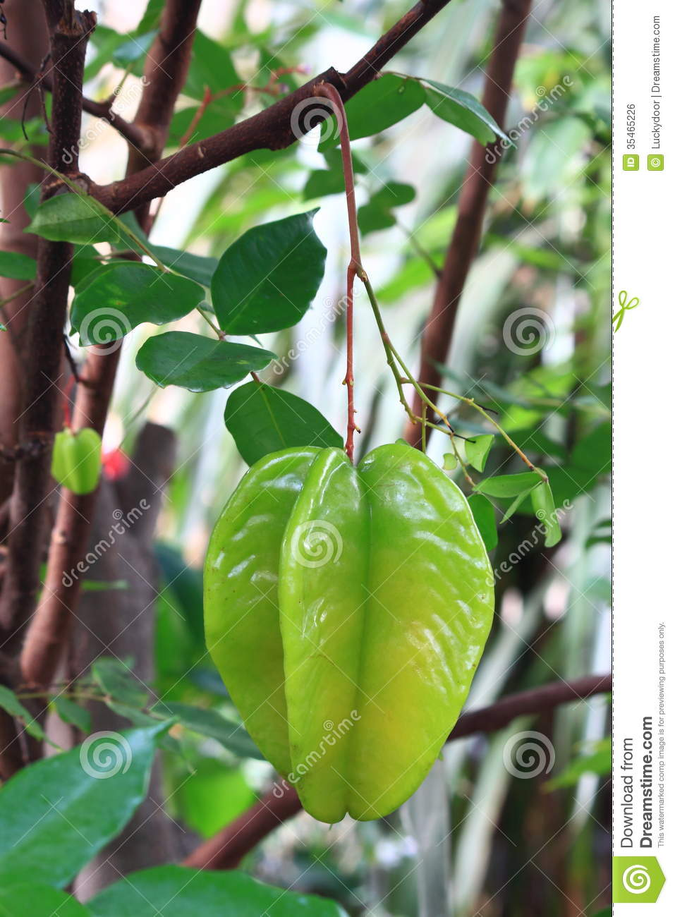 Arbre fruitier tropical photo stock image du abondant for Arbre fruitier