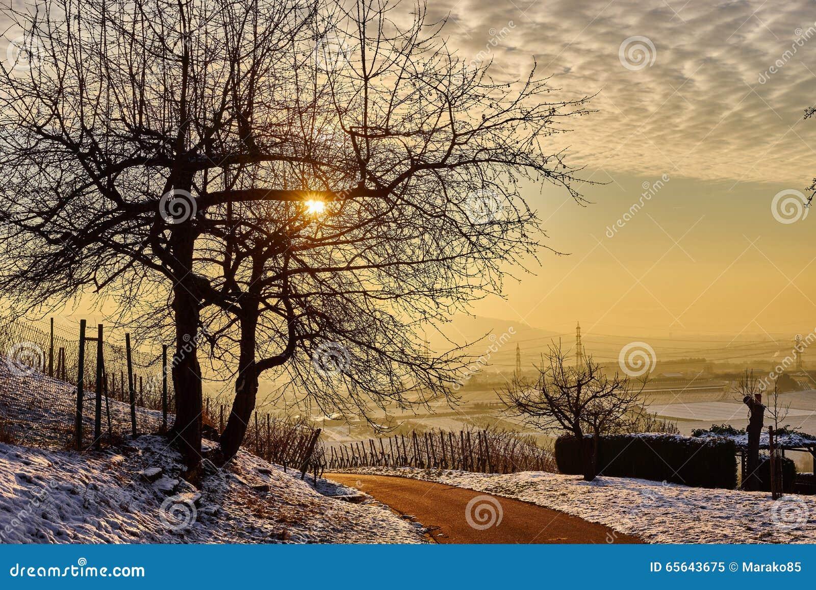 Arbre isolé au coucher du soleil dans le vignoble