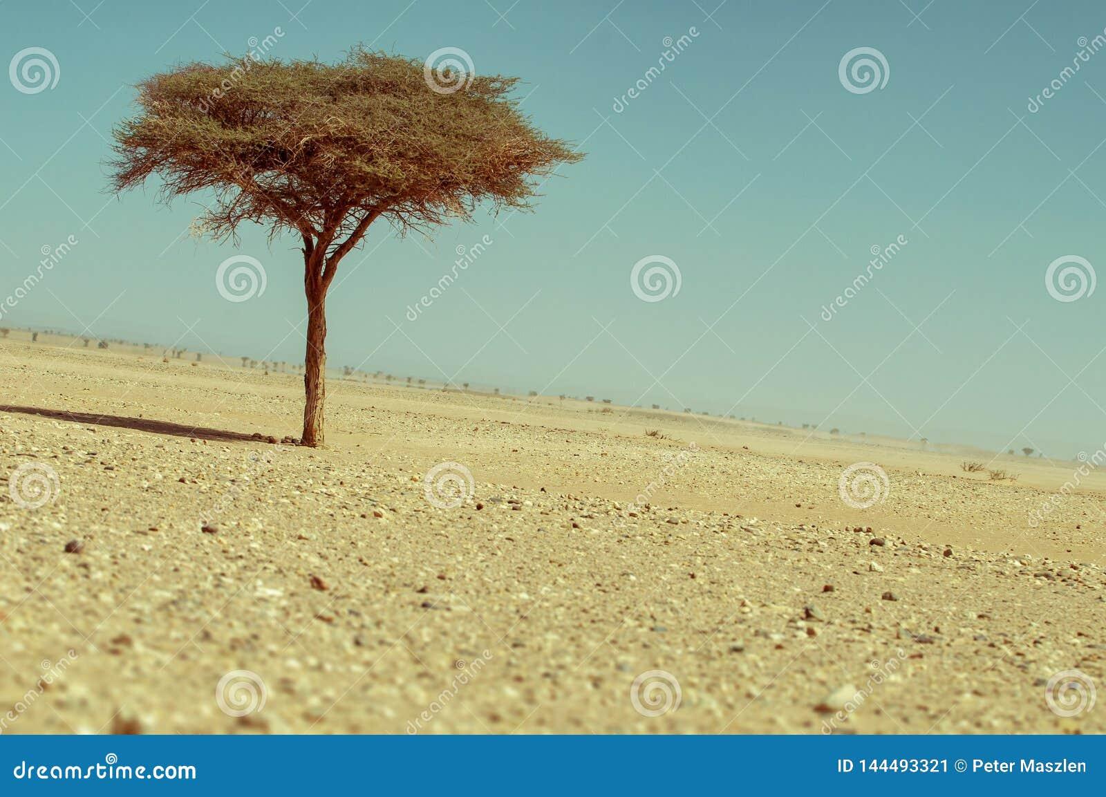 Arbre isolé dans le désert marocain
