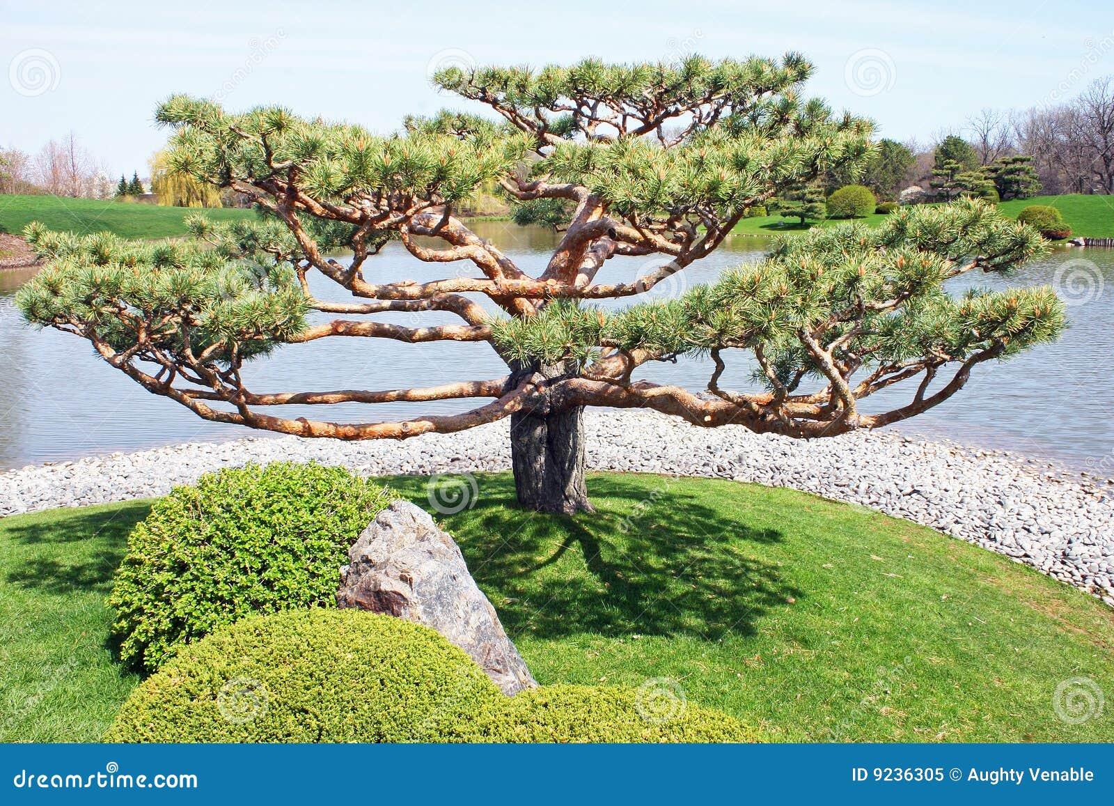 arbre japonais image stock image du abondant frais accroissement 9236305. Black Bedroom Furniture Sets. Home Design Ideas