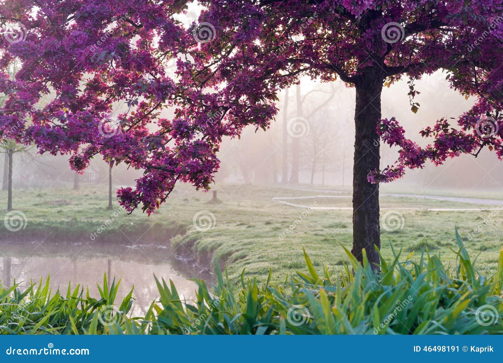 arbre japonais rose dans la lumi re de matin jardin. Black Bedroom Furniture Sets. Home Design Ideas