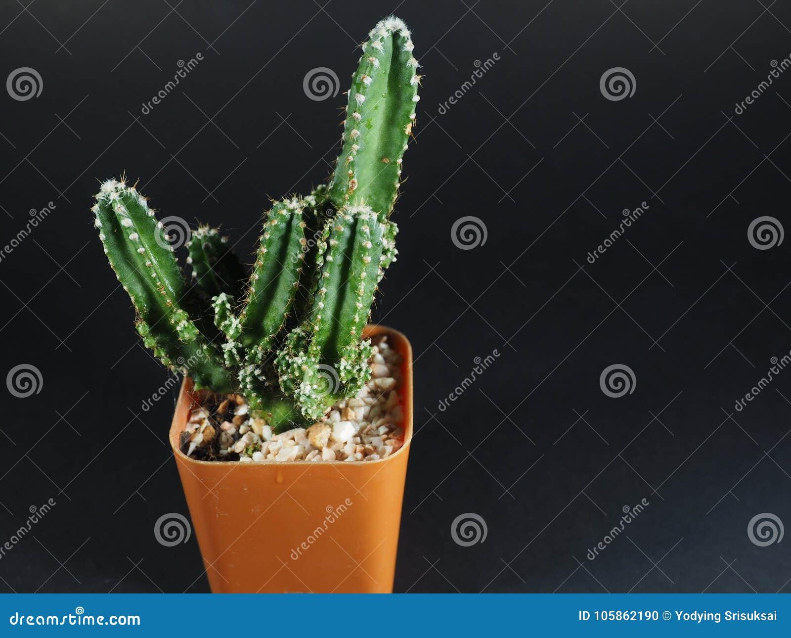 Arbre minuscule de cactus