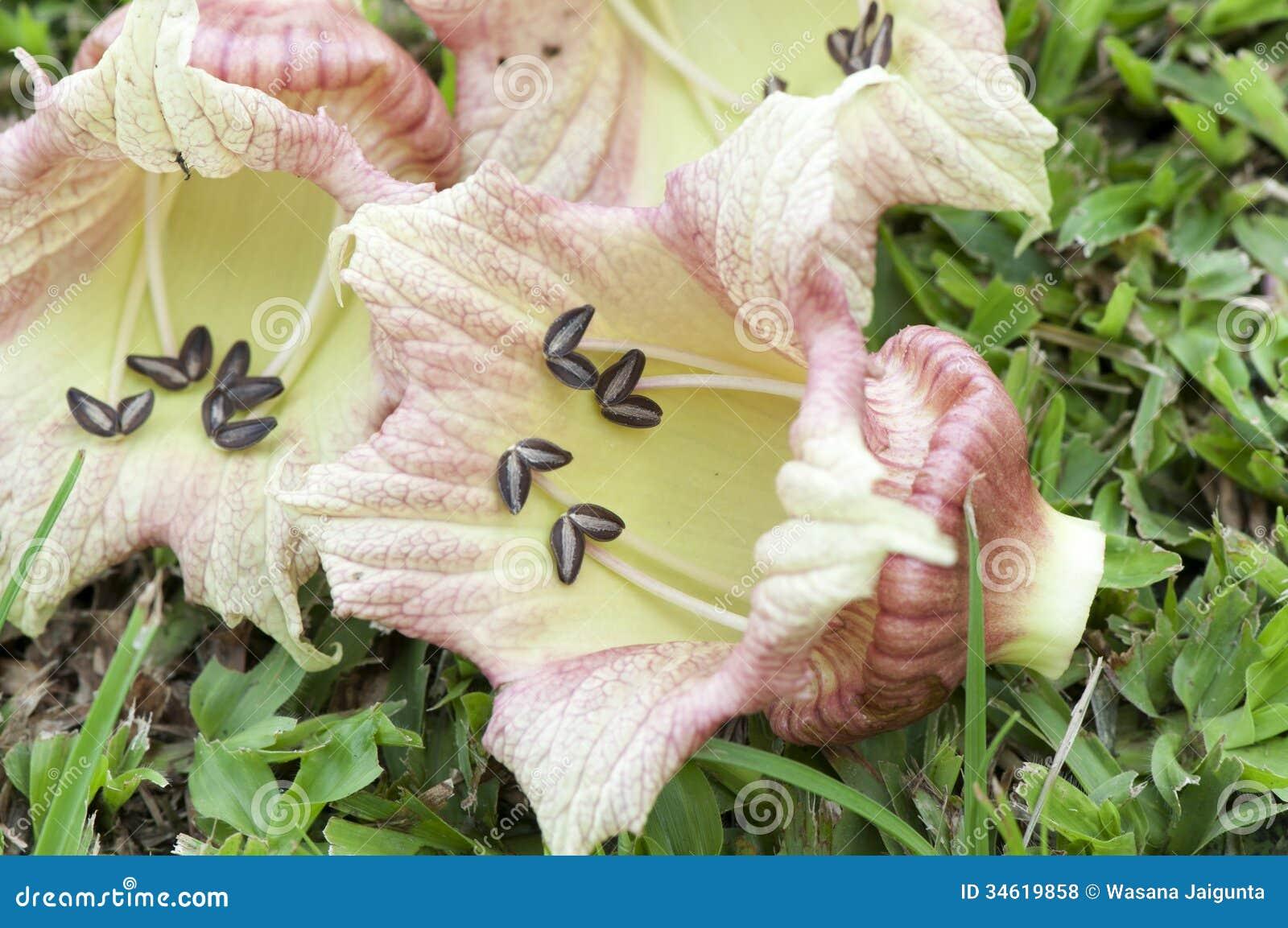 Arbre moulu de courge, calebasse mexicaine (alata L. de Crescentia).
