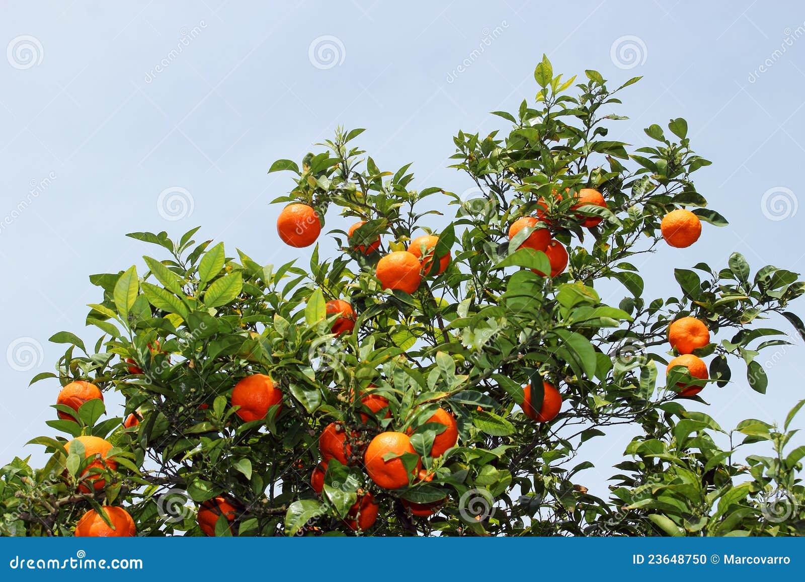 arbre orange photo stock image du centrale saison arbre 23648750. Black Bedroom Furniture Sets. Home Design Ideas