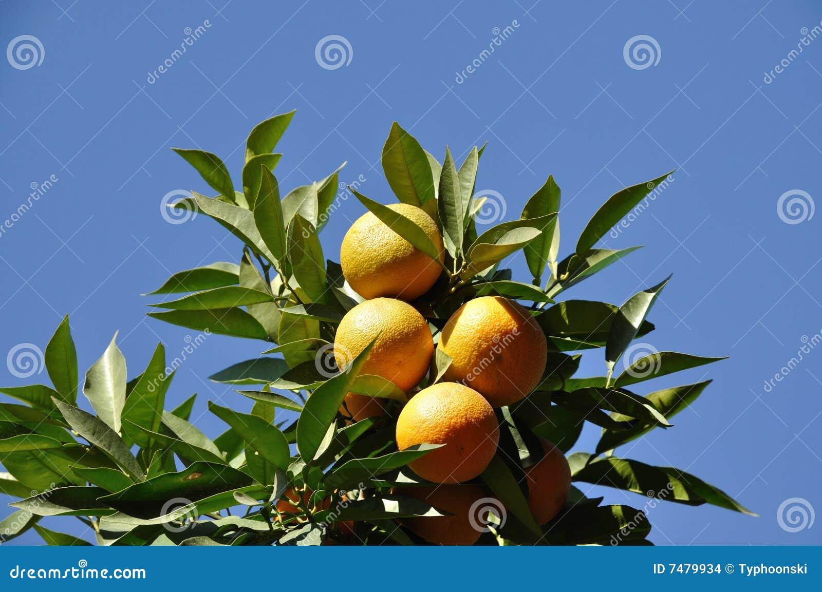 Arbres fruitiers et autres fruits - Plantes et Jardins