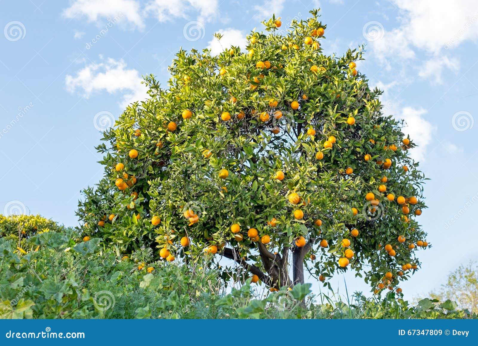 arbre orange dans la campagne du portugal image stock image du cultiv accroissement 67347809. Black Bedroom Furniture Sets. Home Design Ideas