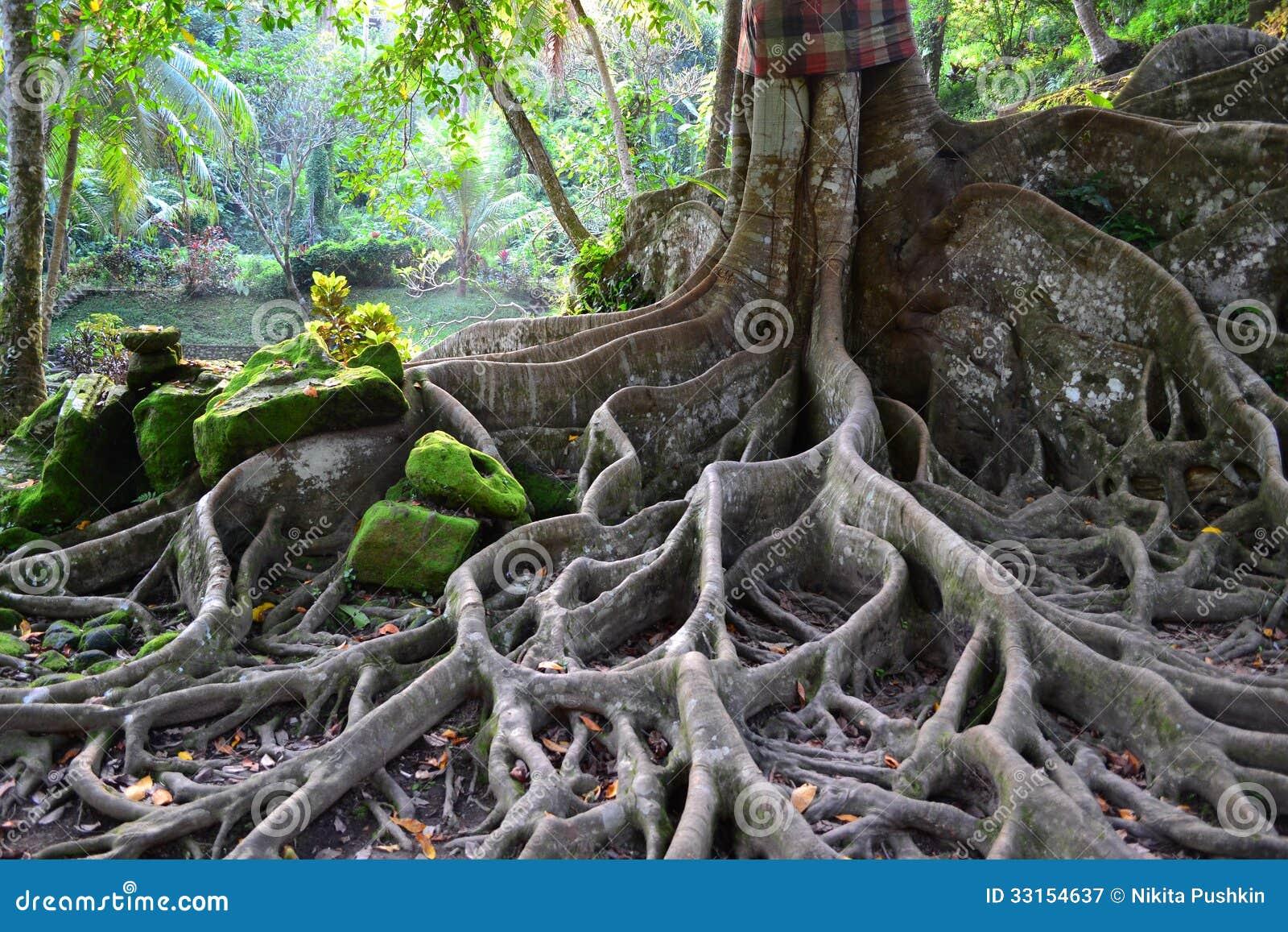 arbre peu commun avec de grandes racines image stock image du for t croissance 33154637. Black Bedroom Furniture Sets. Home Design Ideas