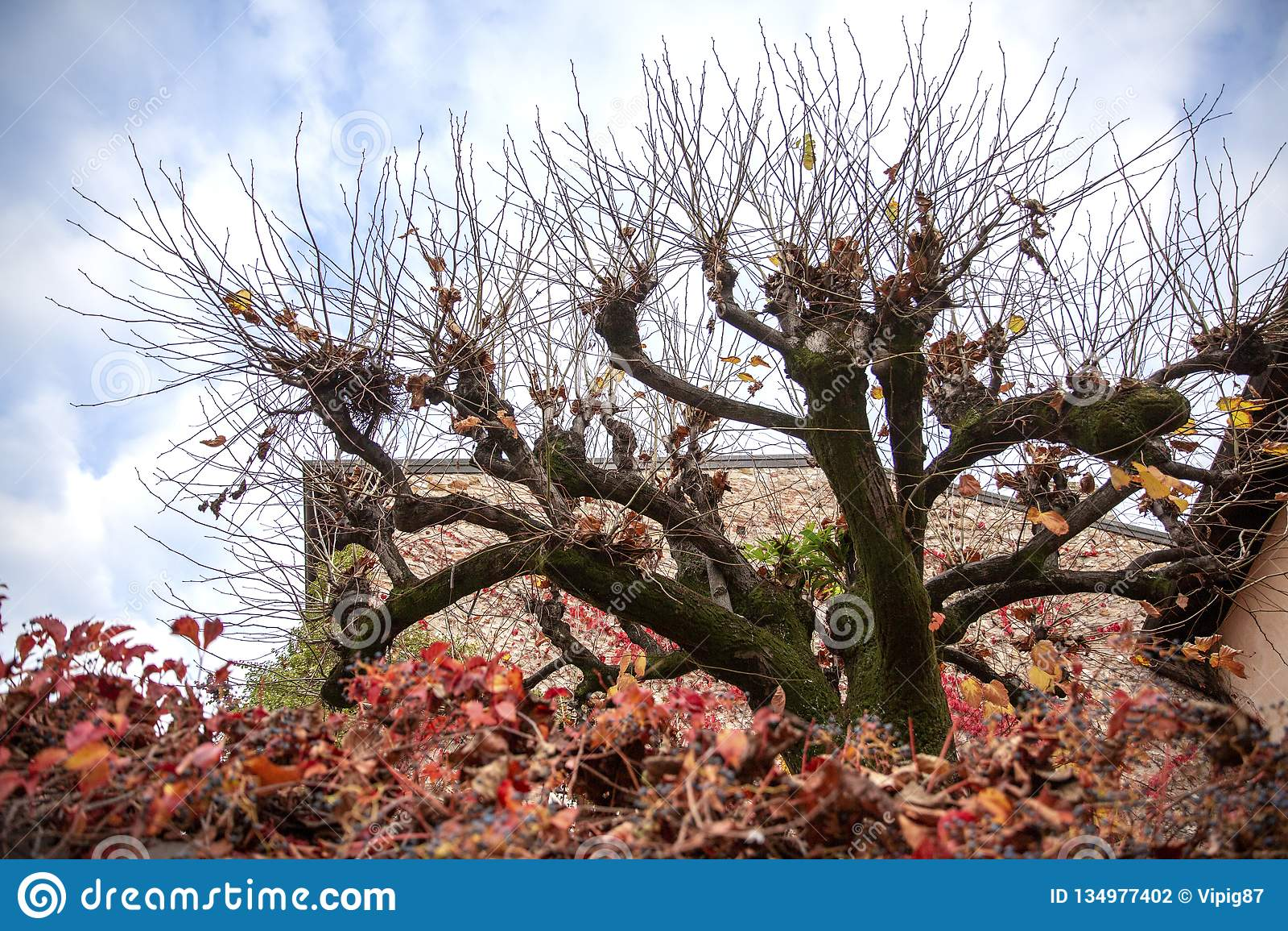 Arbre peu commun dans Sirmione Motif d automne