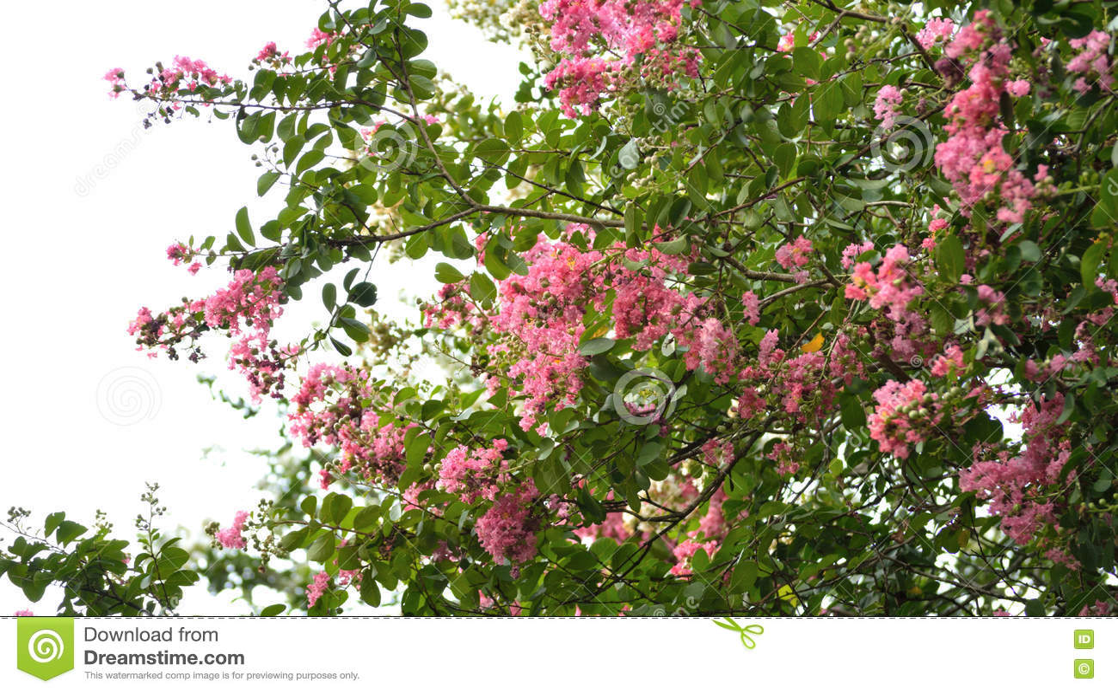 arbre rose de myrte de cr pe en fleur contre le ciel image stock image du bleu cr pe 77743121. Black Bedroom Furniture Sets. Home Design Ideas