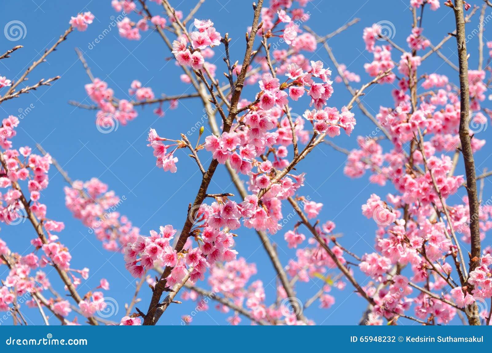 arbre rose de sakura ou de fleurs de cerisier avec le ciel bleu photo stock image 65948232. Black Bedroom Furniture Sets. Home Design Ideas
