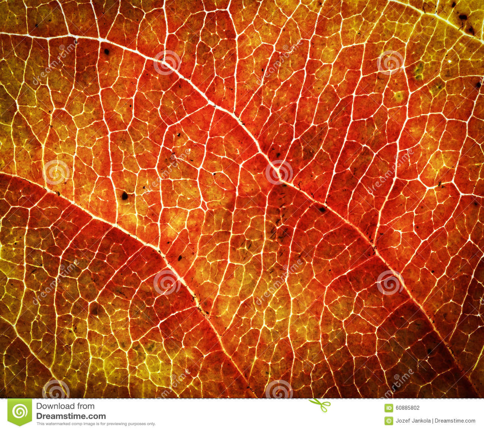 arbre rouge orange de feuille d 39 automne photo stock image 60885802. Black Bedroom Furniture Sets. Home Design Ideas