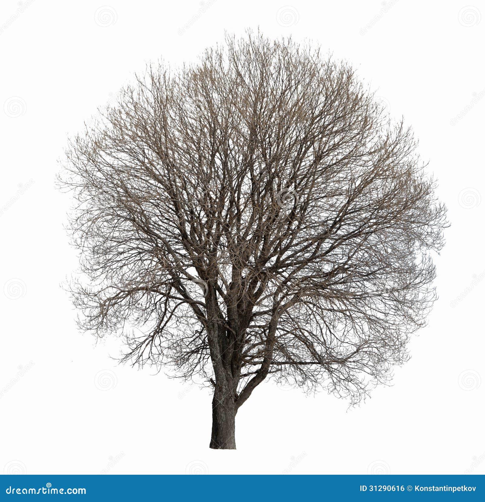 Arbre sans feuilles d 39 isolement image libre de droits - Arbres sans feuilles ...