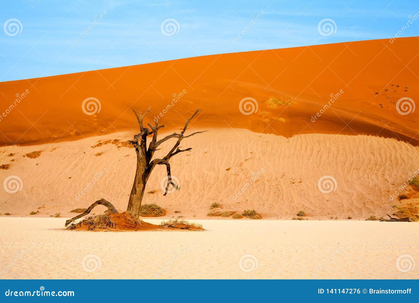 Arbre sec d acacia de chameau sur les dunes de sable oranges et le fond lumineux de ciel bleu, Namibie, Afrique méridionale
