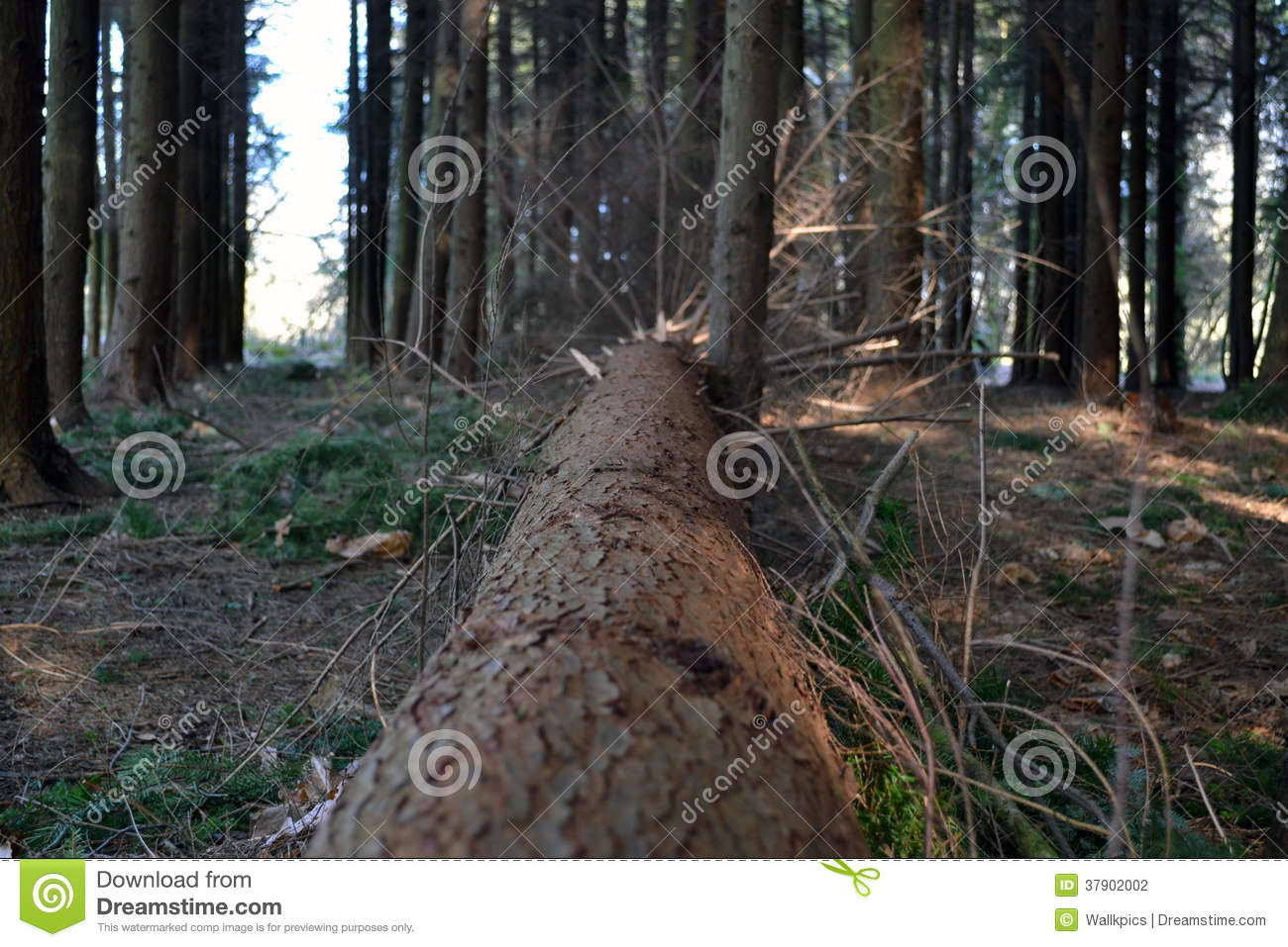 Arbre tombé en bois Forest With Branches Coming Off
