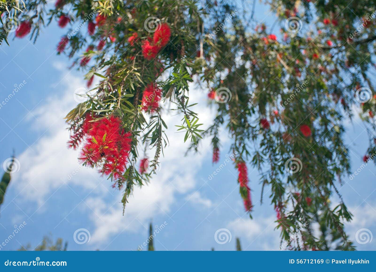 Arbre tropical avec les fleurs rouges photo stock image 56712169 - Arbres a fleurs rouges ...