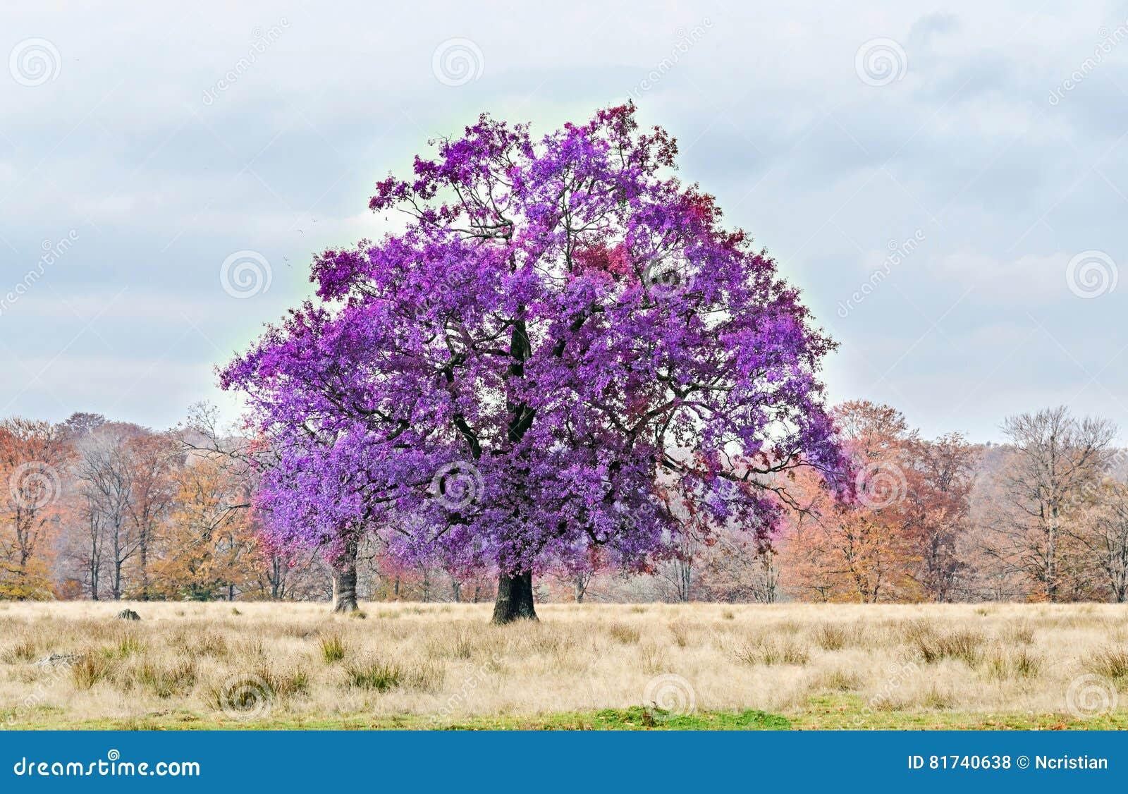 arbre violet mauve dans le temps d'automne, parc extérieur photo