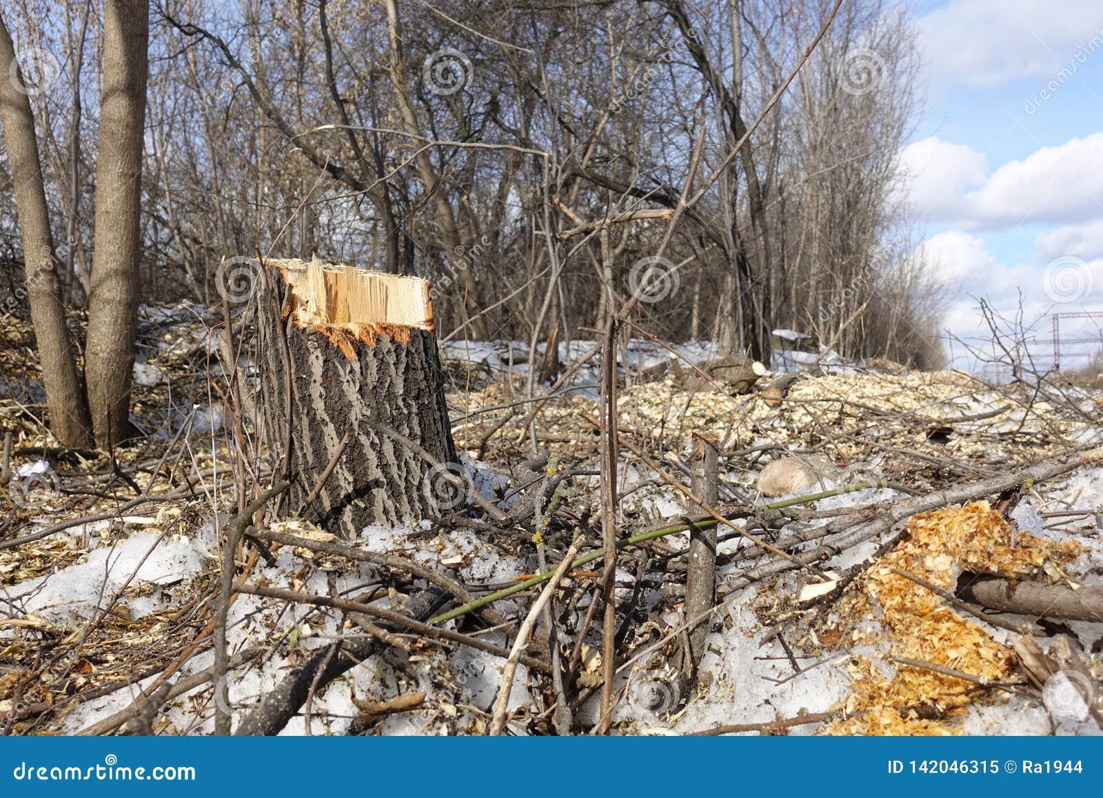 Arbres abattus Déchets de tronçon et de bois Le concept de la mauvaise écologie Coupe des arbres