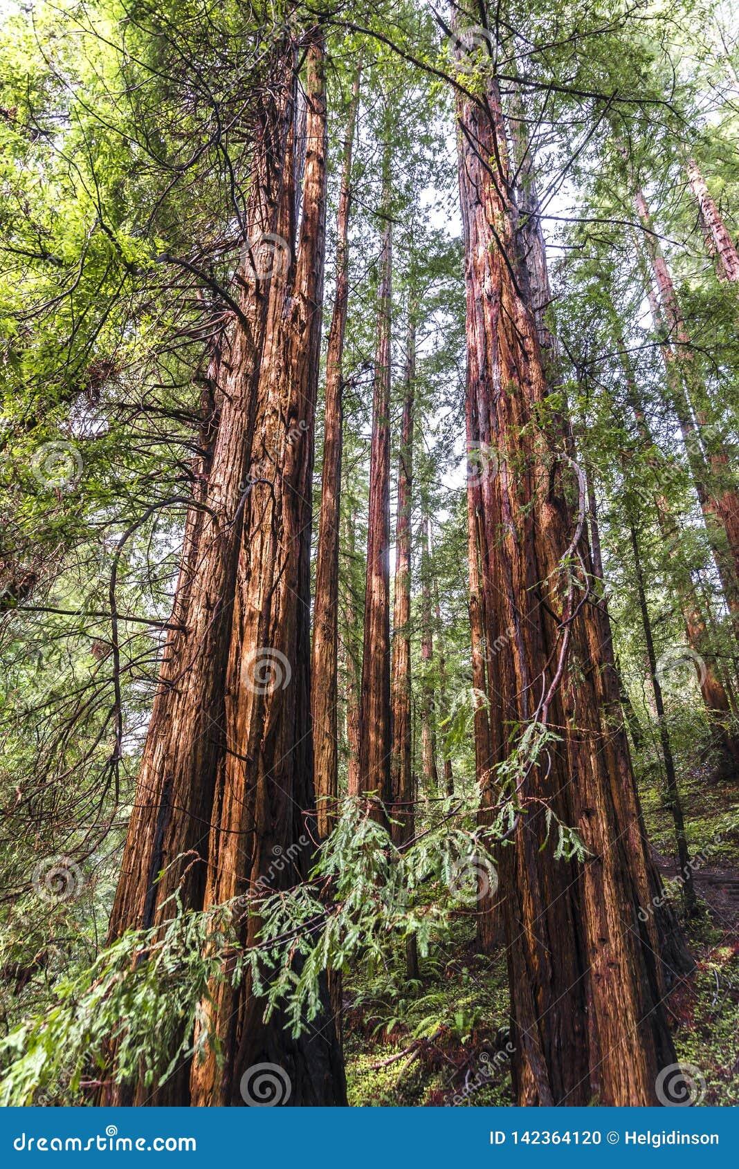 Arbres au parc de Muir Redwood