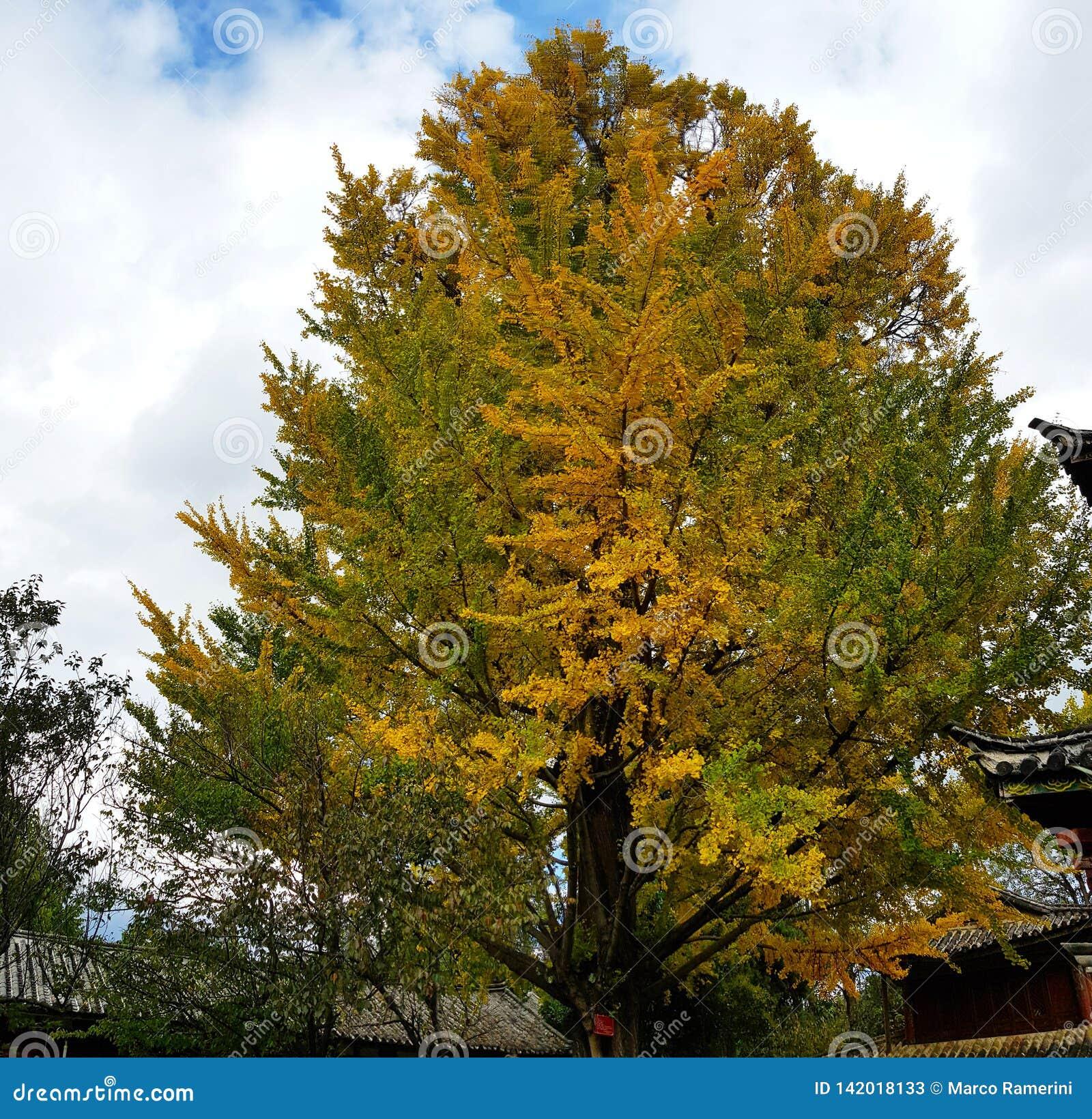Arbres avec les couleurs typiques d automne, Chine