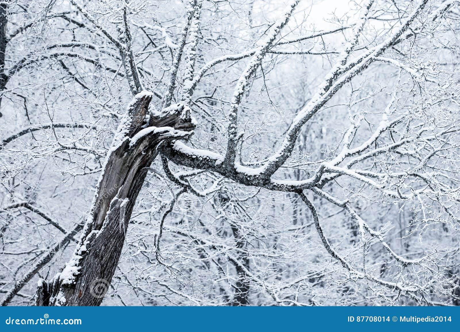 Arbres couverts de neige dans un jour d hiver
