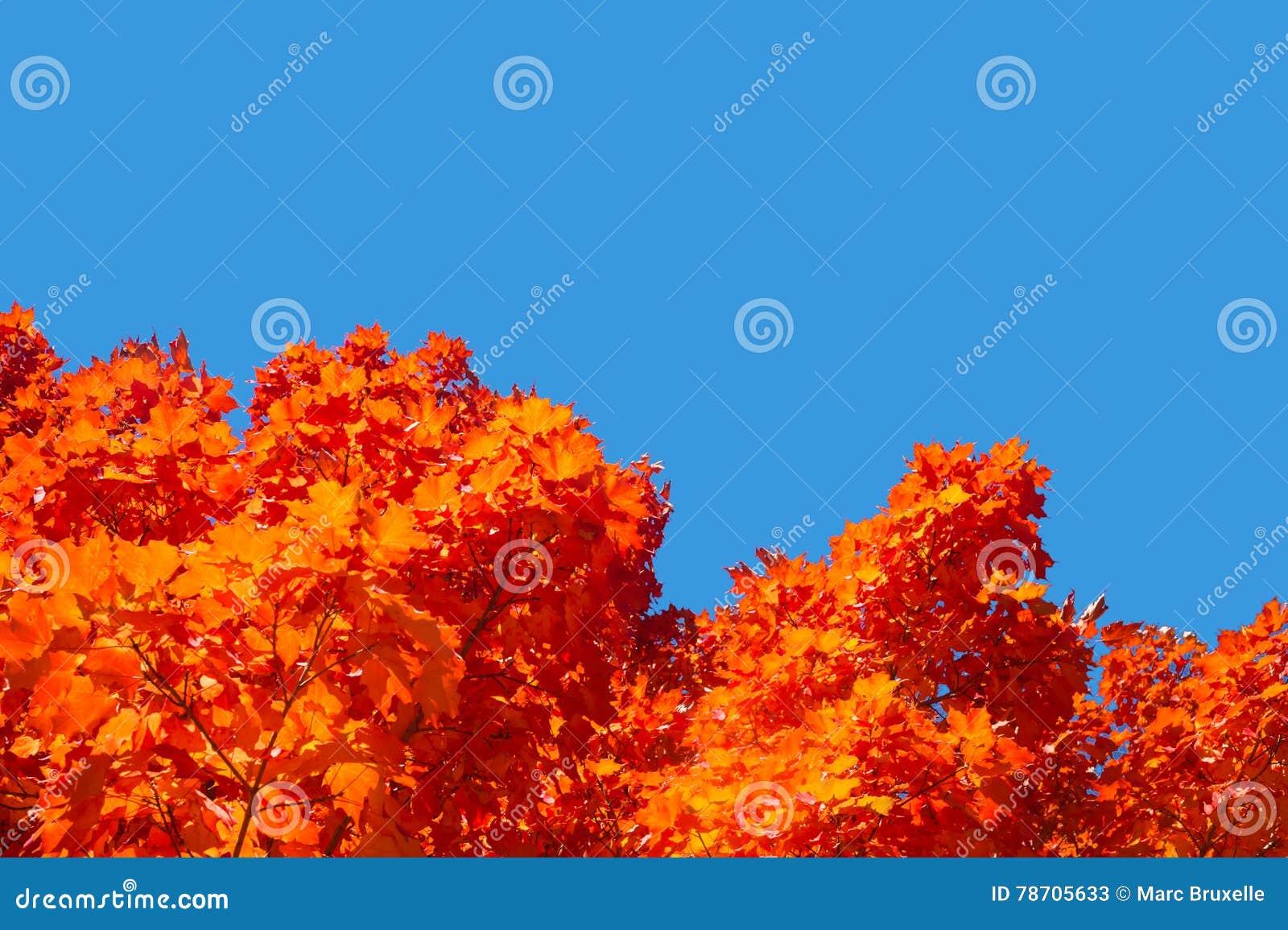 arbres d'érable avec des feuilles de rouge en automne image stock
