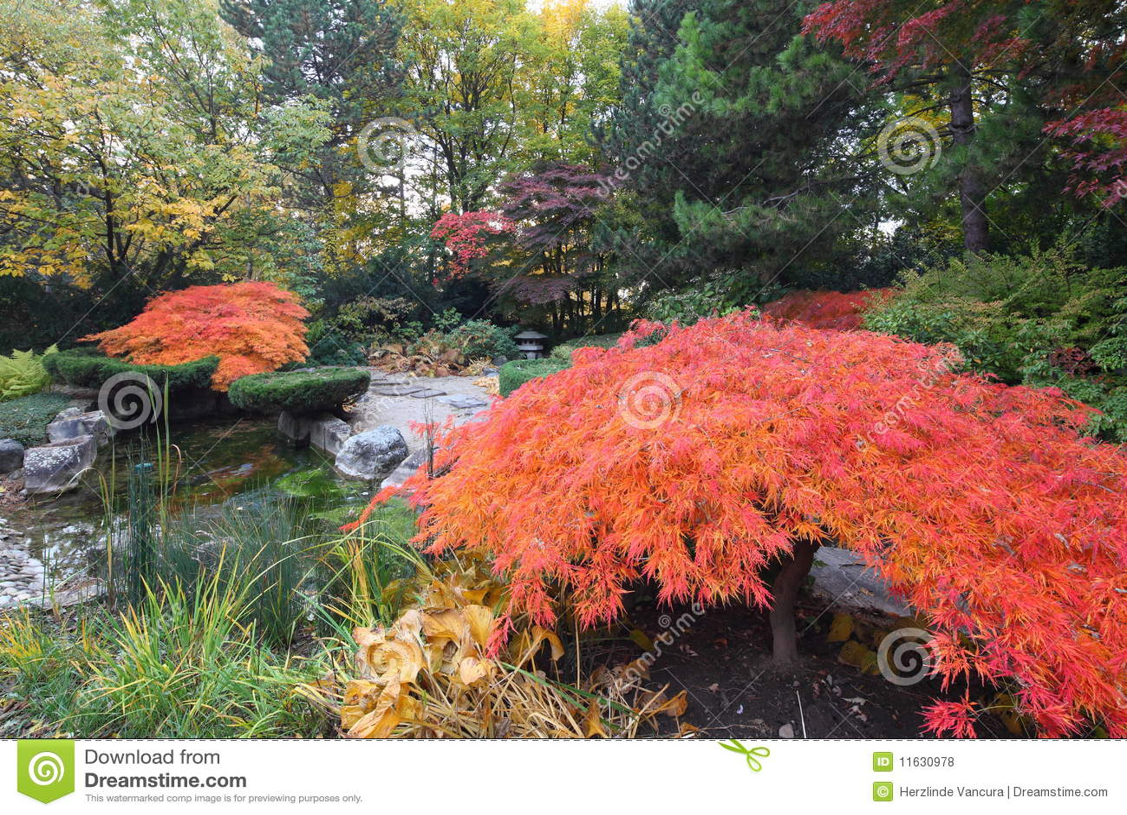 Arbres d 39 rable dans le jardin japonais photo stock for Dans le jardin