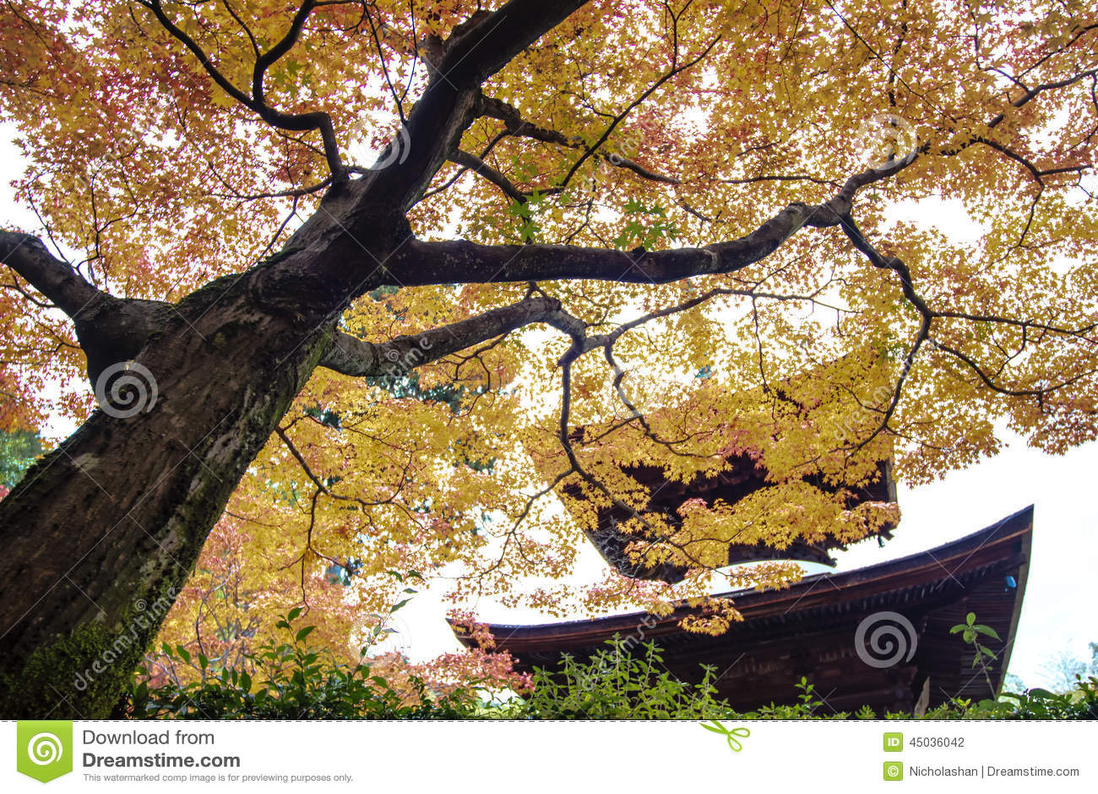 Arbres d 39 rable rouge dans un jardin japonais photo stock for Arbres jardin japonais
