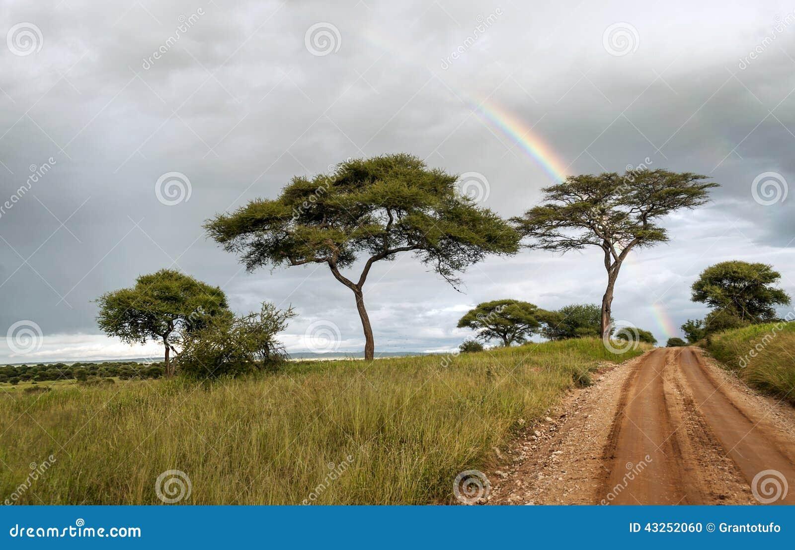 Arbres d acacia avec l arc-en-ciel