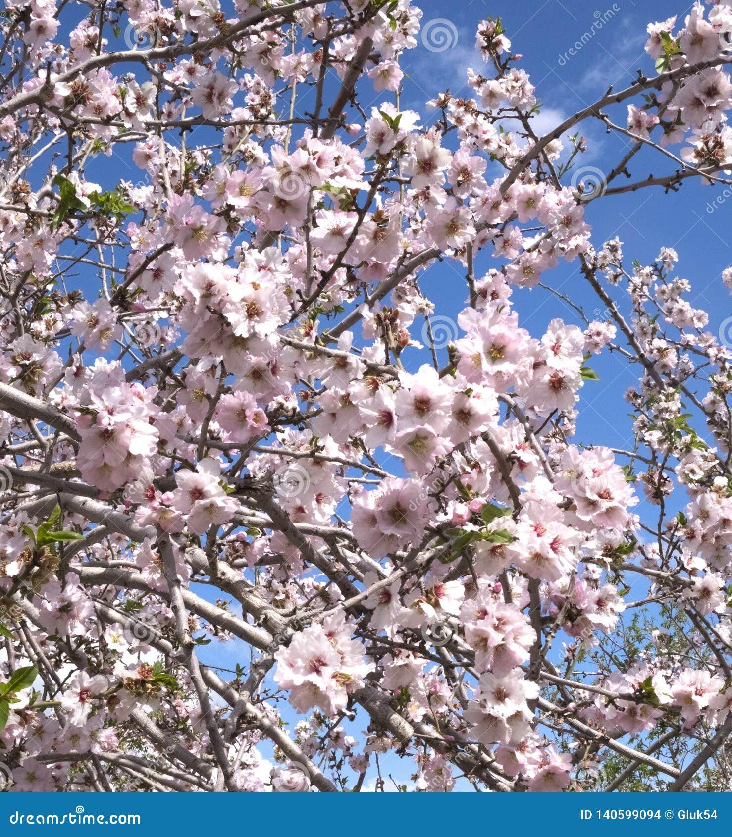 Arbres d amande fleurissant au printemps dans les collines de Latrun dans la région de Jérusalem en Israël