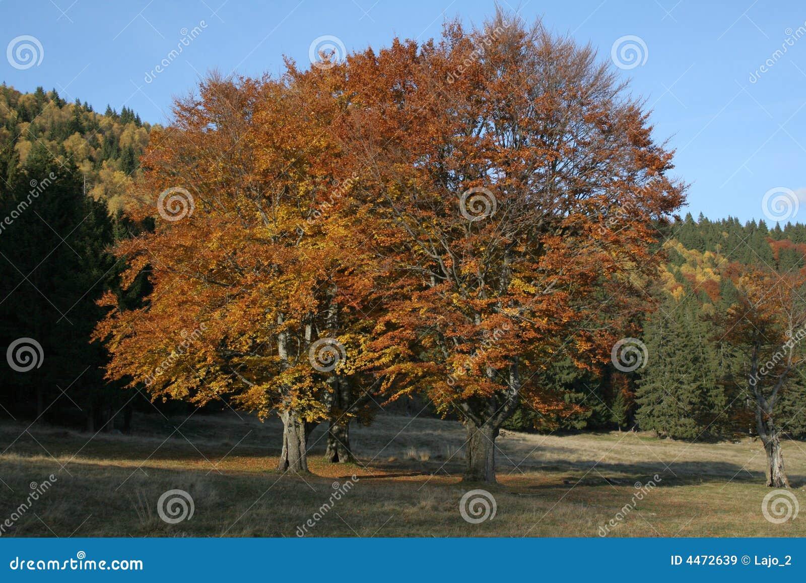 Arbres d automne