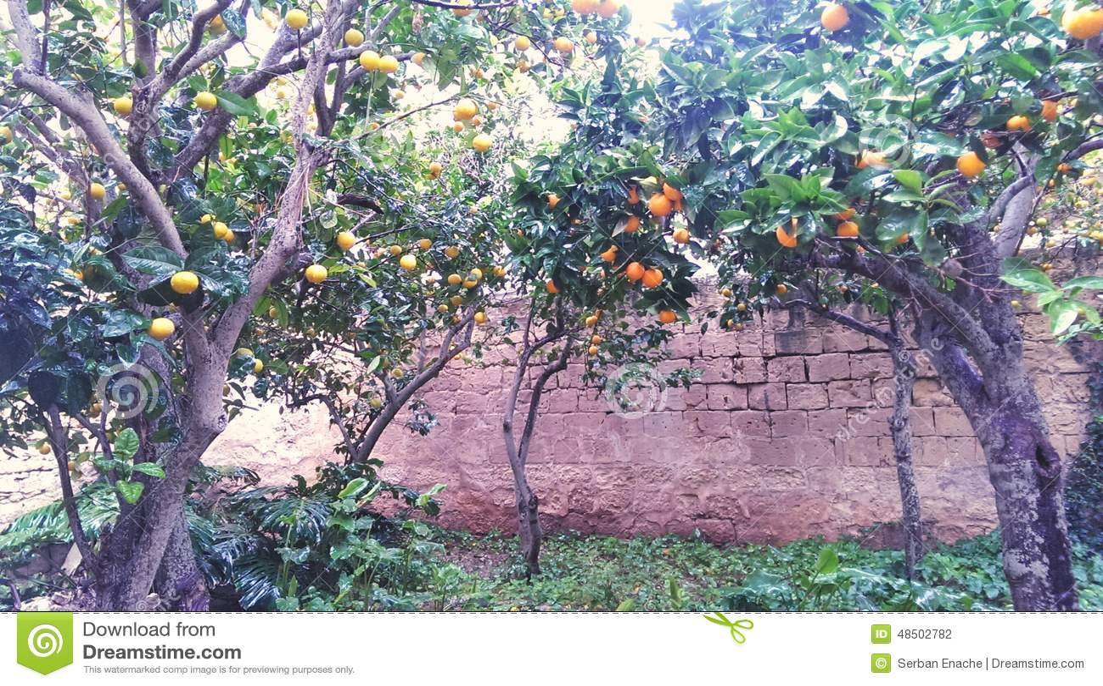 Arbres dans un verger orange