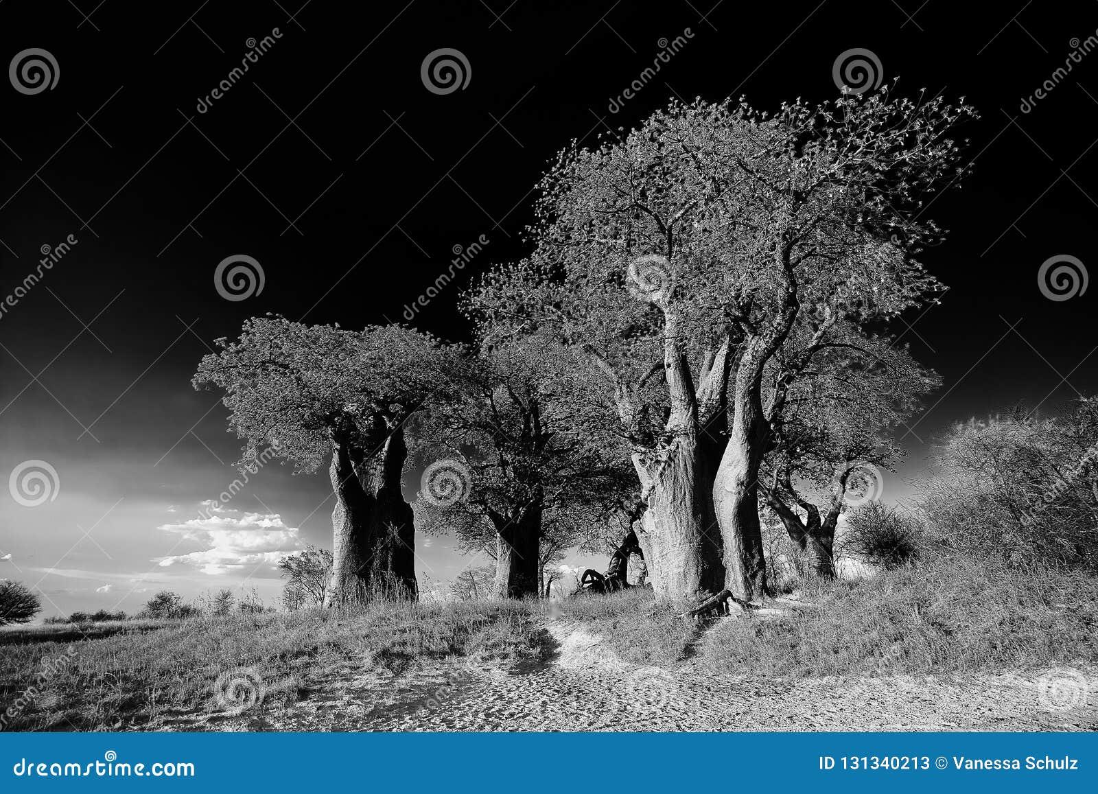 Arbres De Baobabs En Noir Et Blanc Image Stock Image Du