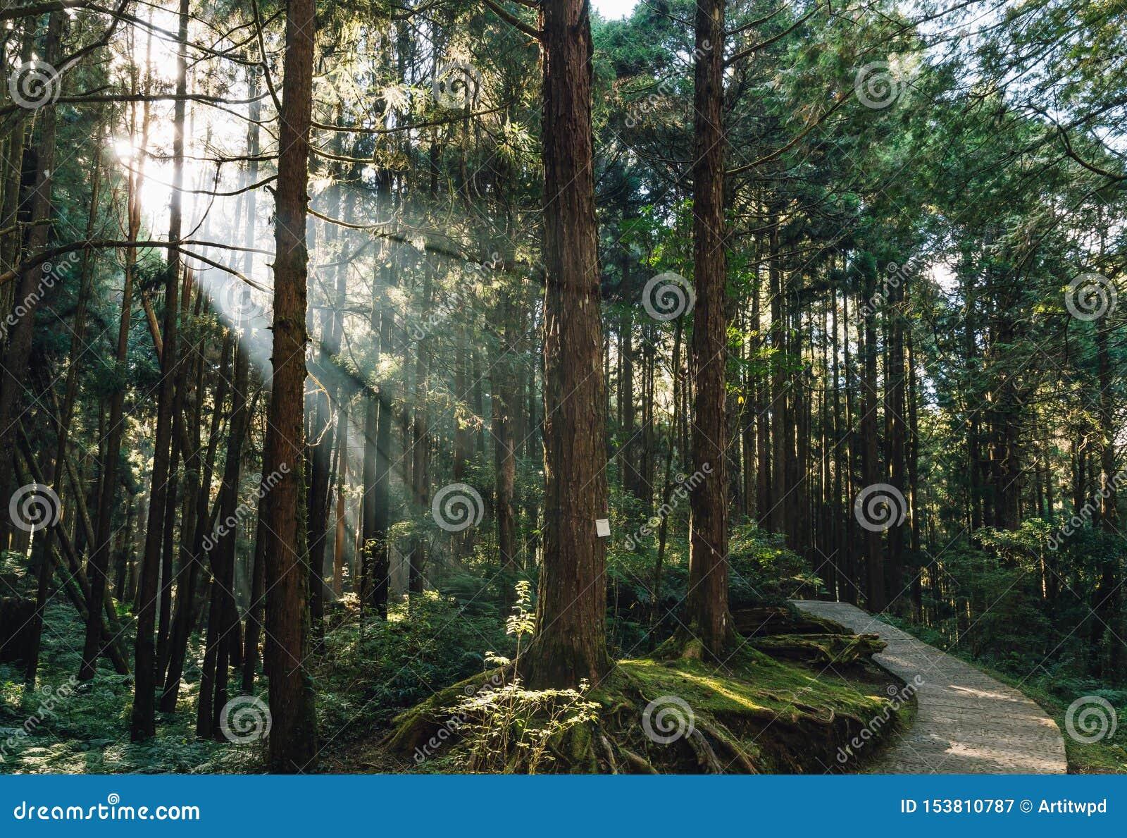 Arbres de cèdre japonais dans la forêt avec le rayon traversant de lumière du soleil dans Alishan Forest Recreation Area national